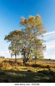 silver birch trees in stock photos silver birch trees in