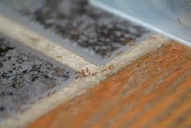 fourmis dans la cuisine l utilisation d appâts à base d acide borique espace pour la vie