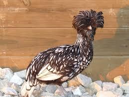 Best Backyard Chicken Breeds by Chicken Breeds Houdan With Backyard Chicken Breeds Barred Rock