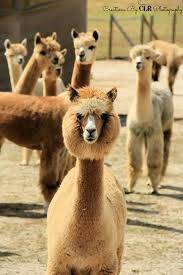 Alpaca Sheep Meme - awesome 22 alpaca sheep meme wallpaper site wallpaper site