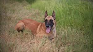 belgian shepherd el paso meet jackx the new bomb sniffing k 9 at nmsu police