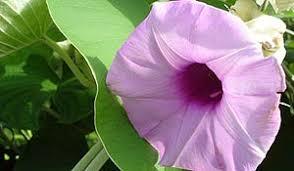 hawaiian baby woodrose argyreia nervosa hawaiian baby woodrose entheology