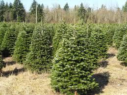 hicks christmas tree u0027s christmas trees archives hicks christmas