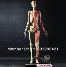 Female Anatomy Figure Human Anatomy Muscles Female Periodic Tables