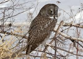 great gray owl audubon field guide