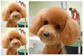 different toy poodle cuts toy poodle teddy bear cut omg sooo cute puppy love pinterest