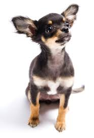 short haired chorkie comparing the differences between long coat and smooth coat chihuahuas