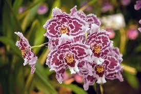 oncidium orchid oncidium orchids warm section rhs gardening
