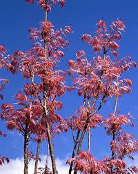 toona sinensis cedrela sinensis flamingo havlis cz