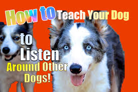 how to teach your dog to listen to you around other dogs youtube