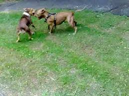 american pitbull terrier rhodesian ridgeback mix english game bred pitbull vs pit cross ridgeback youtube