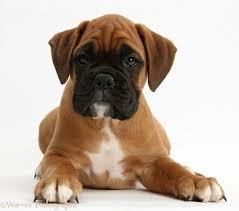 bulldog y boxer boxer puppy wallpaper