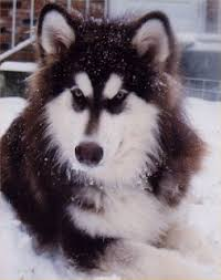 american pitbull terrier vs siberian husky alaskan malamute vs siberian husky alternate supplement seed