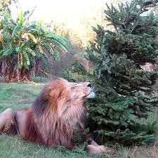 donation christmas tree enrichment u2013 big cat rescue