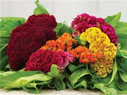coxcomb flower coral garden mix cockscomb baker creek heirloom seeds