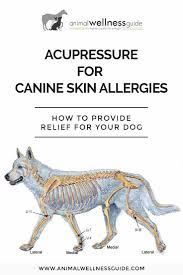 acupressure for canine skin allergies animal wellness guide
