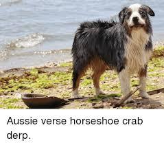 australian shepherd meme aussie and aussie meme on me me