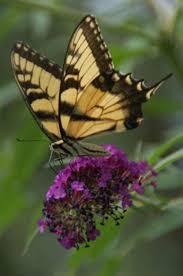 file butterfly perched on purple flower jpg wikimedia commons