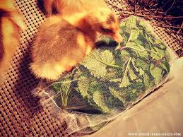 diy brooder box herbal sachets for baby and ducklings