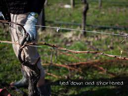 how to prune grapevines like a pro u2026 u2013 country trading co blog
