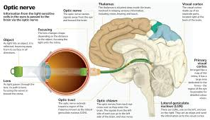 Thalamus Part Of The Brain Science Of Vision How Do Our Eyes Enable Us To See How It