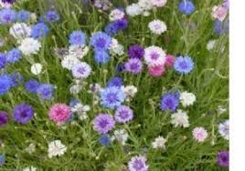 bachelor buttons 2 000 bachelor button seeds flowering plants