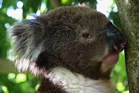 High Koala Meme - grumpy koala blank template imgflip