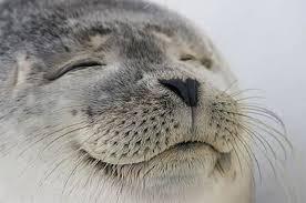 Seal Meme Generator - satisfied seal meme generator imgflip
