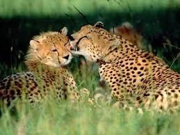29 best cheetahs images on pinterest wild animals animals and