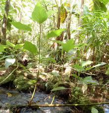 native hawaiian plants for sale touchardia latifolia wikipedia