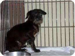 affenpinscher and chihuahua yoyo adopted dog baltimore md affenpinscher chihuahua mix