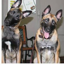 belgian shepherd stomach cancer tuesday u0027s tail a weekly dog related article or short story