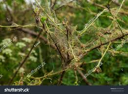 caterpillars made cocoons on tree caterpillars stock photo