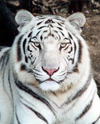 2010 the year of the white tiger euphoria meets holy crap meets