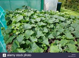 squash plants growing outside covering ground stock photo
