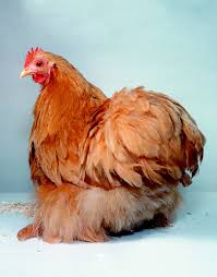 Best Backyard Chicken Breed by Chicken Breeds For Kids Raising Chickens