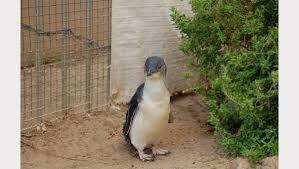 little penguins face extinction the times