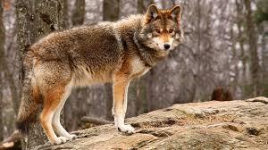 coyote standing ngsversion 1459714905525 adapt 1900 1 jpg