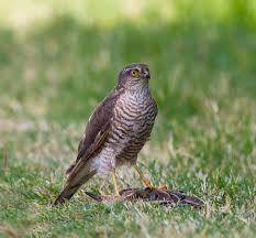 eurasian sparrowhawk wikipedia