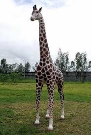 baby giraffe statue size animal statues