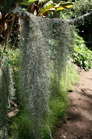 native plants of mexico spanish moss wikipedia
