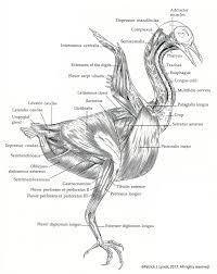 manual of ornithology u2013 patrick lynch
