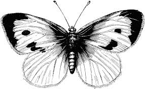 black and white butterfly pictures free clip free
