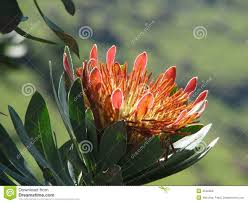 Protea Flower South Africa - flower of protea south africa stock photo image 4542060