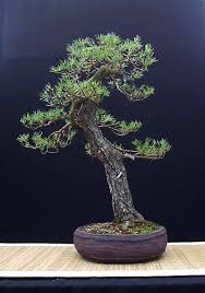 pot bonsai design the art of bonsai project feature gallery the bonsai of john pitt