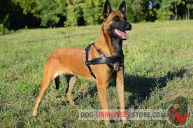 belgian shepherd vs doberman tracking pulling leather dog harness malinois harness h5 1092