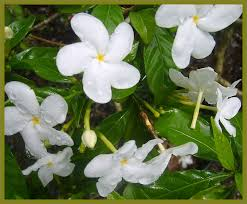 Fragrant Jasmine Plant - fragrant plants emerald goddess gardens