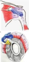Subscapularis And Supraspinatus Clinical Anatomy Of The Elbow And Shoulder Reumatología Clínica