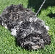 affenpinscher for adoption adopt a dog