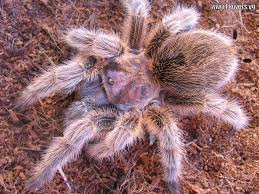 49 best tarantulas images on pinterest spiders scorpion and bugs